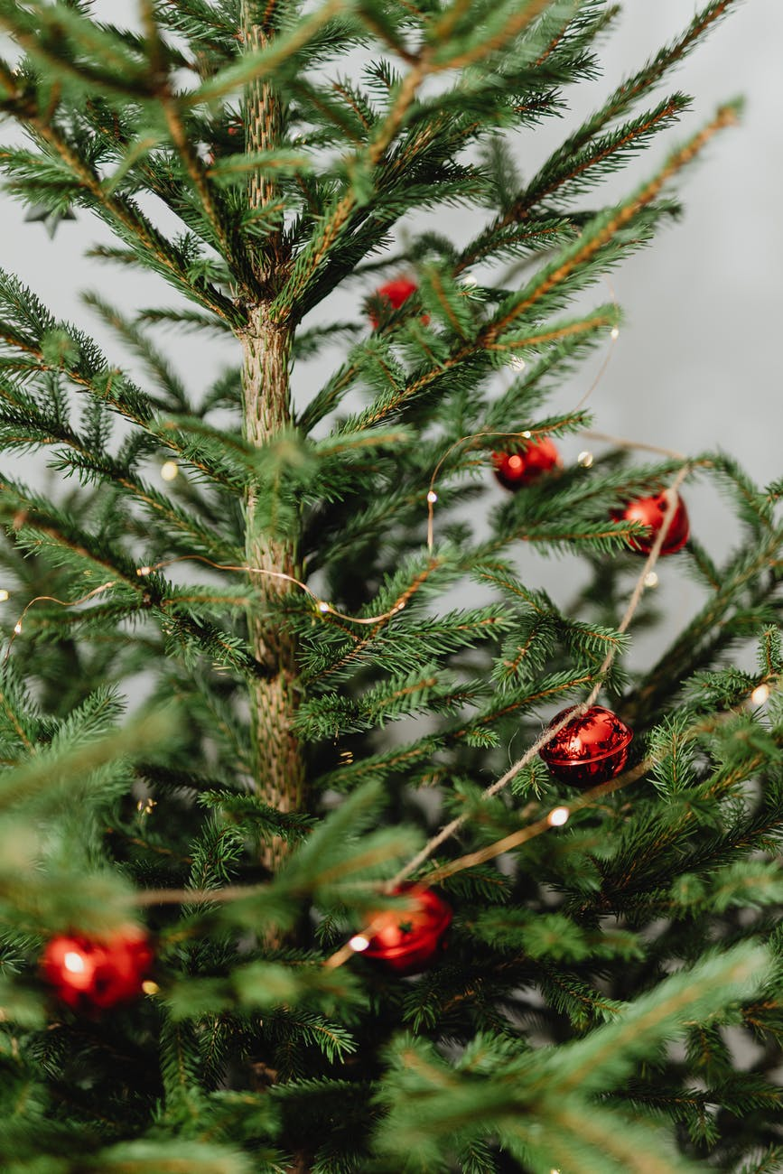 green pine tree with red fruit